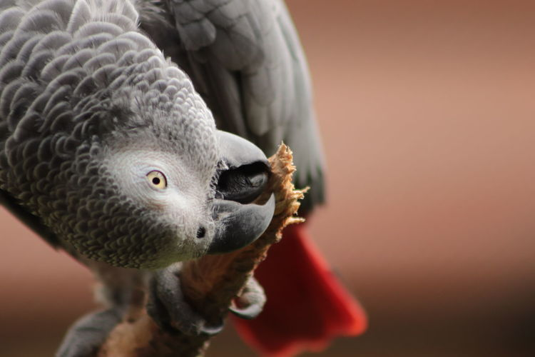 Close-up of parrot eating