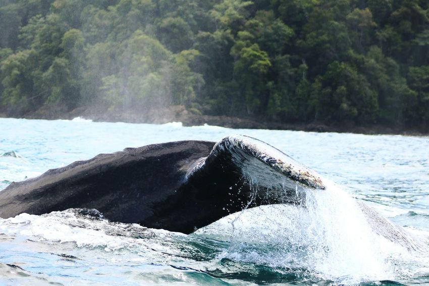 Humpback Whale Whale Animals In The Wild Animal Wildlife One Animal Sea Life Mammal Animal Themes Sea No People Animal Aquatic Mammal Nature Water Animal Fin Outdoors Endangered Species Underwater Day Swimming Ballenas Jorobadas Bahia Solano UnderSea
