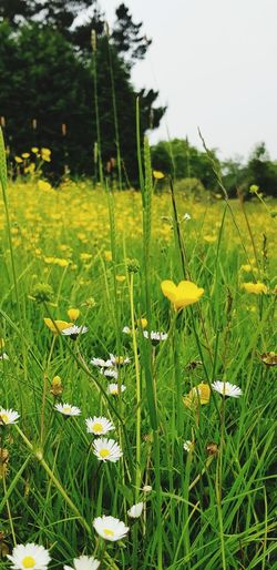 all in the meadow Dasies Buttercup Wildflower Meadow Flowers Englishcountryside Flower Tree Flower Head Field Grass Close-up Sky Green Color Plant Wildflower Plant Life Blooming