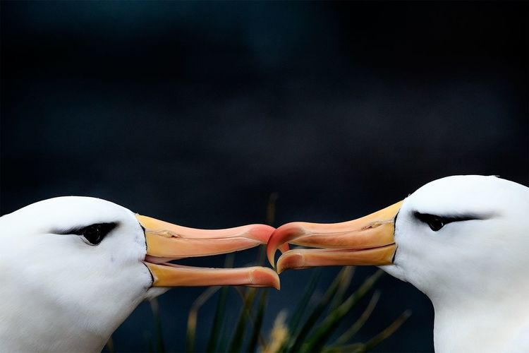 Two Is Better Than One Birds Albatross Nature Love Beauty In Nature Chile