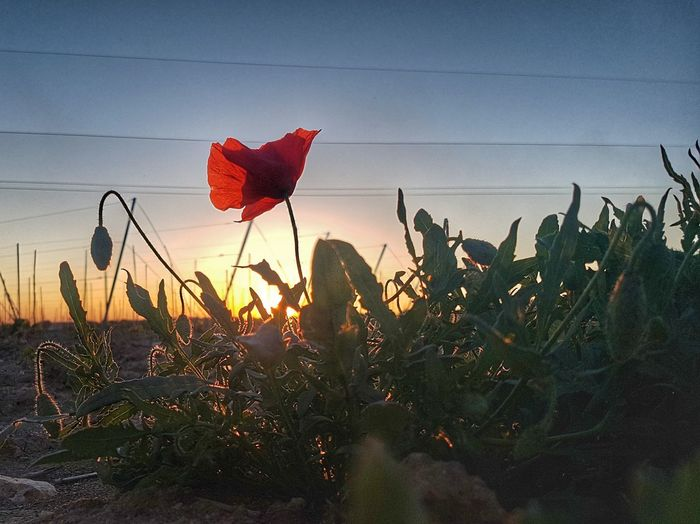 Flower Sunset Nature Red Plant Growth Beauty In Nature Sky Poppy No People Outdoors Day Rural Scene Close-up Freshness Francescobardoscia Colorful Silhouette Beauty In Nature Freshness