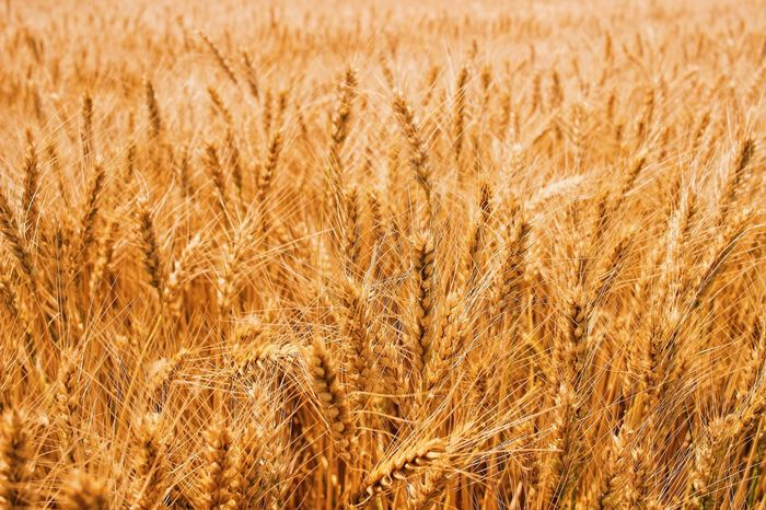 Reap me up! Agriculture Cereal Plant Crop  Field Farm Gold Colored Wheat Growth Rural Scene Nature Backgrounds Summer Yellow No People Plant Outdoors Close-up Food Saturated Color Day Barley Farm Harvest Reap Beauty In Nature