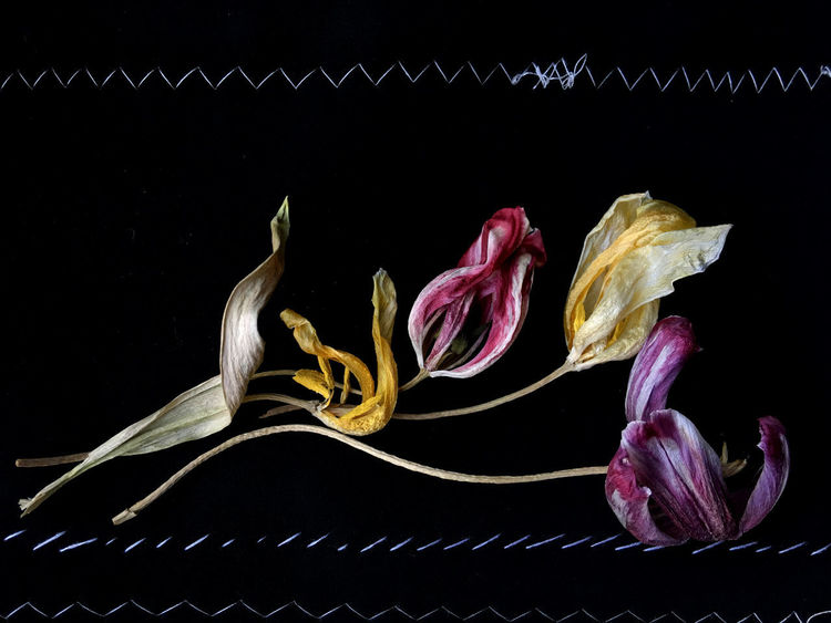 Close-up Black Background Indoors  Fragility Inflorescence Still Life Purple Yellow Pink Color Faded Stitching Aging Wrinkled Get Older Dried Out Beauty Old Beauty Filigree Tender Fine Art Photography Art Horizontal Flower Head Flower Beauty In Nature Studio Shot