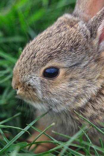 Baby bunny Peter Cottontail Baby Bunny Baby Rabbit Bunny Rabbit One Animal Close-up Animal Wildlife Animal Themes Animals In The Wild No People Mammal Nature Outdoors Cute Animals Bunny Love Cottontail Baby Animals Animals In The Wild Grass Rabbits Cottontail Rabbit Wild Rabbit