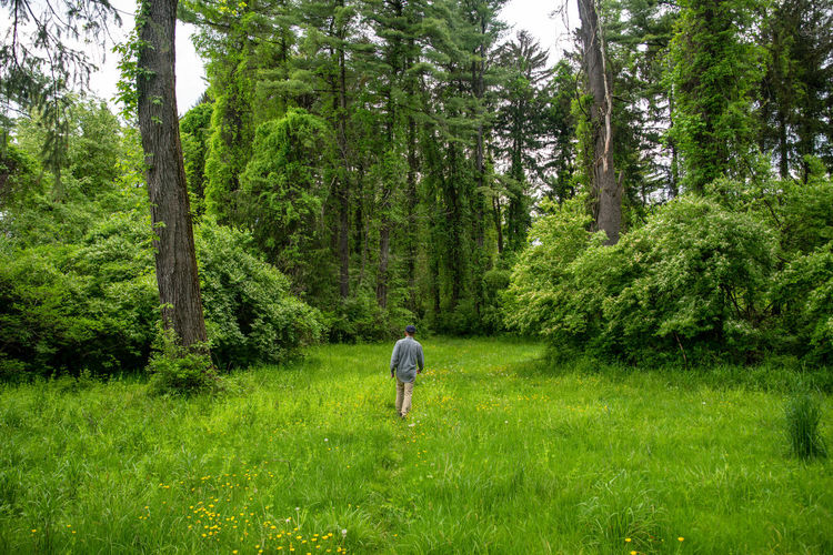Idyullic scene of a solitary man walking away through tall grass with yellow flowers into a forest.