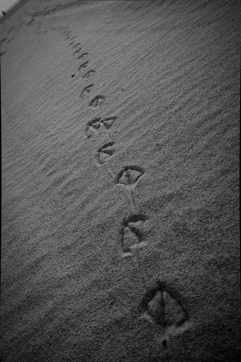 Tracks Tracks In The Sand Animal Tracks Bird Tracks Bird Tracks In The Sand Black And White Travel Photography Travel Destinations Sand Dune Beach Sand Backgrounds Track - Imprint Tire Track Paw Print Full Frame Sandy Beach FootPrint Animal Track Pebble Beach Shore Tranquil Scene Print