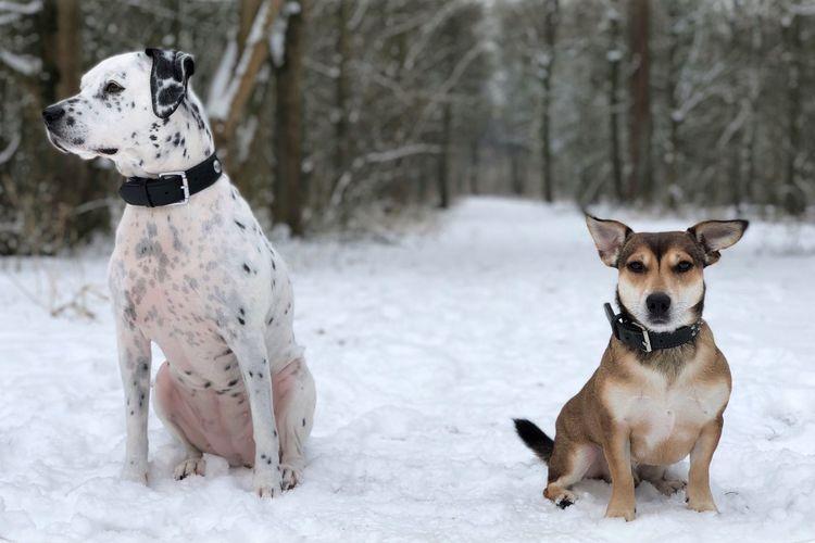 Lana & Joey 🐾 Stafford UnconditionalLove Snowdog Dogs Jackrussell Dalmatian Sneeuw EyeEm Selects Snow Animal Themes Mammal Dog Canine Domestic Animals Winter No People Two Animals Snowing Pets