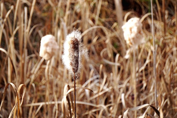 Lampenputzer Lampenputzergras Fountain Grass Schilf Schilfgras Reeds Reed Fall Herbst New England  Massachusetts