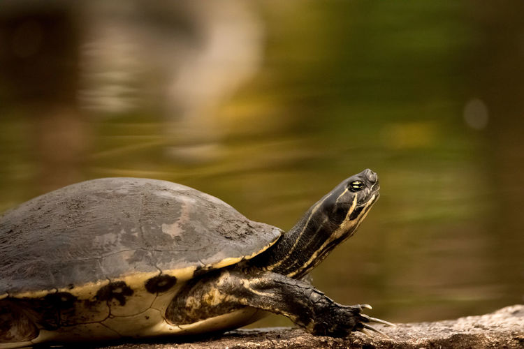 Animal Themes Reptile Animal One Animal Animal Wildlife Turtle Animals In The Wild Vertebrate Tortoise Focus On Foreground Close-up Nature No People Land Tortoise Shell Day Outdoors Water Animal Body Part Side View Marine