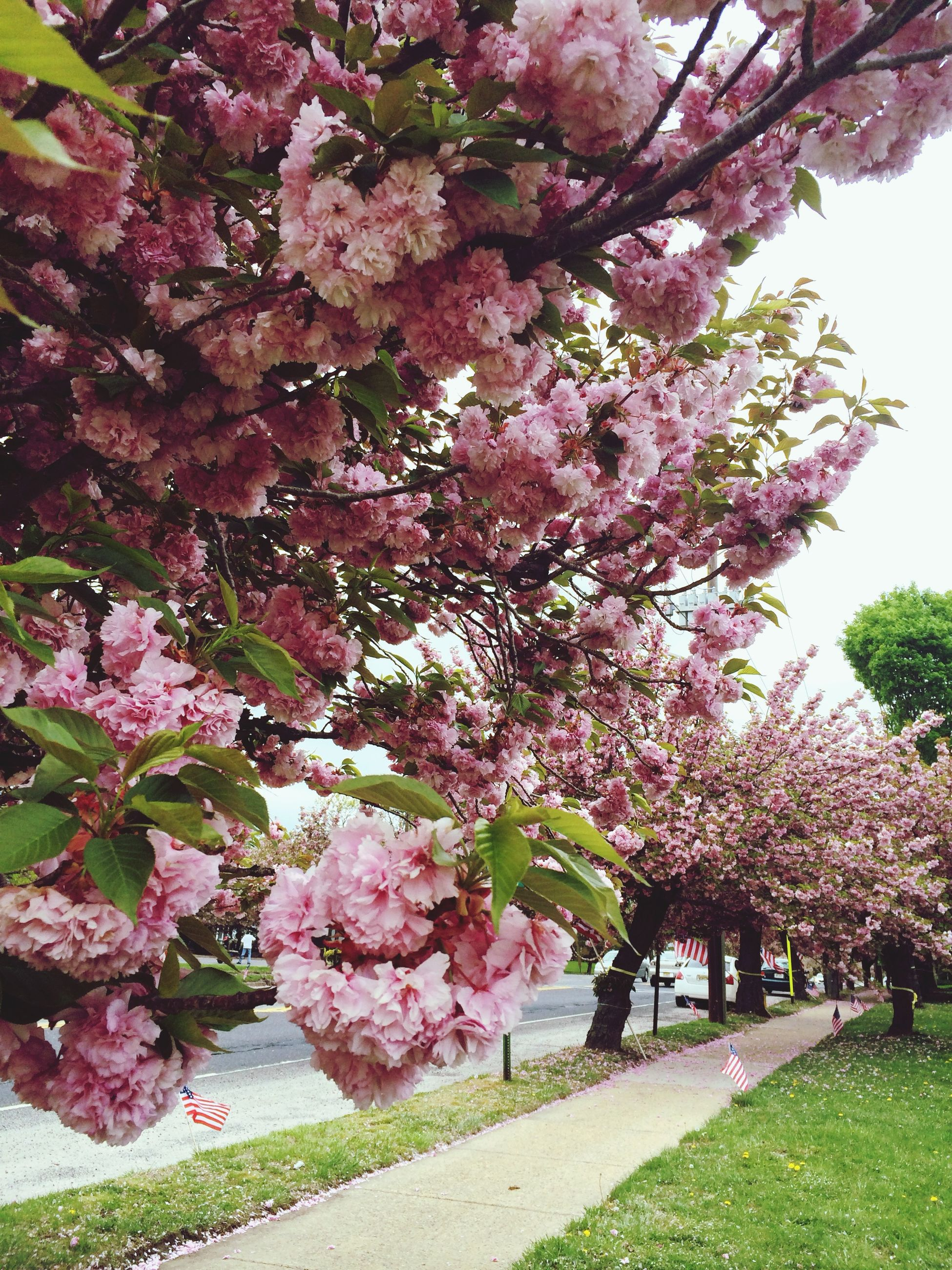 tree, flower, branch, growth, freshness, beauty in nature, pink color, blossom, nature, fragility, cherry tree, cherry blossom, park - man made space, springtime, in bloom, tranquility, day, spring, pink, blooming