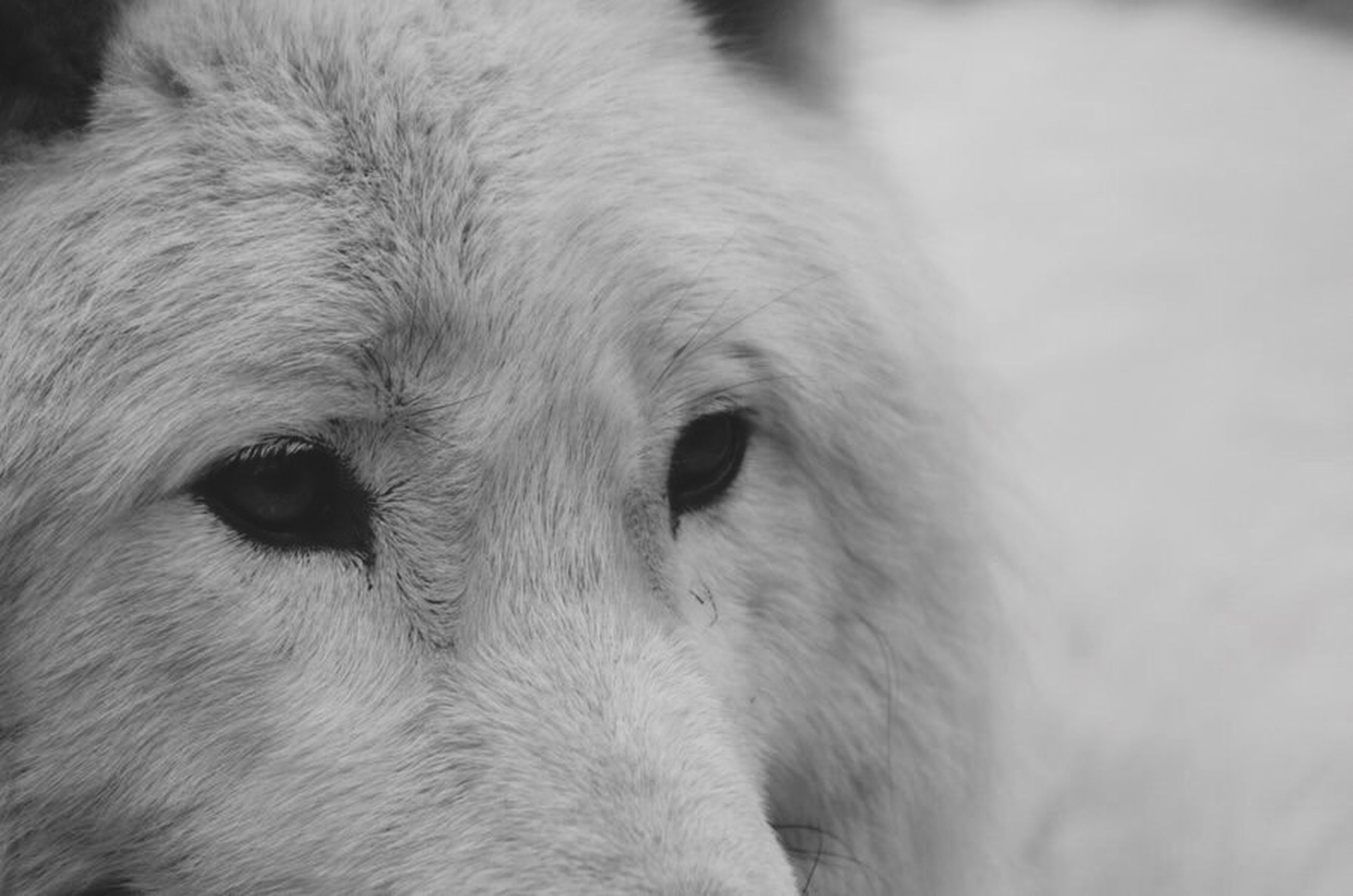 animal themes, one animal, domestic animals, mammal, animal head, animal body part, close-up, pets, dog, focus on foreground, white color, animal hair, part of, portrait, livestock, zoology, looking away, no people, animal eye