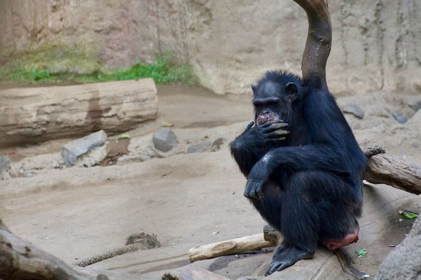 Animals In The Wild Animal Animal Family Animal Photography Animal Themes Animal Wildlife Animals Animals In The Wild Ape Black Color Day Focus On Foreground Mammal Monkey No People One Animal Primate Sitting Vertebrate Wood - Material Young Animal Zoo Zoology