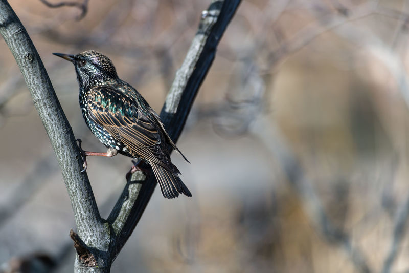 Close-up of starling perching on branch