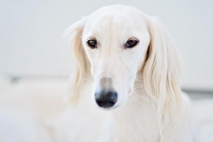 Close-up portrait of white dog