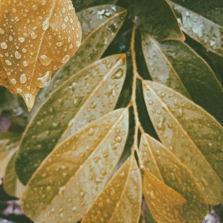 ใบไม้ Dew Leaf Vein Blade Of Grass Maple