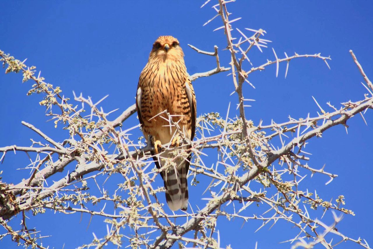 bird, animal themes, one animal, animals in the wild, branch, clear sky, low angle view, blue, perching, tree, day, animal wildlife, outdoors, no people, nature, bird of prey, bare tree, beauty in nature, sky, close-up