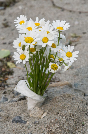 Blumen Beach Flowers Jellow Margariten Sand White Color White Flower White Flowers