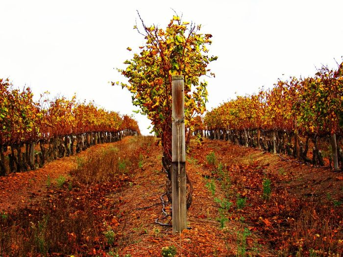 Beauty In Nature Freshness Scenics Autumn Colors Autumn Vineyards  Winecountry South Africa