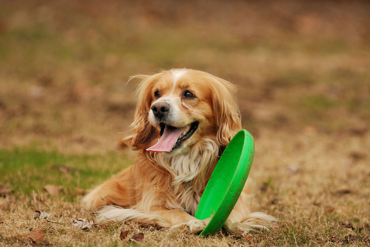 Playful brown dog with green plastic disc outdoors
