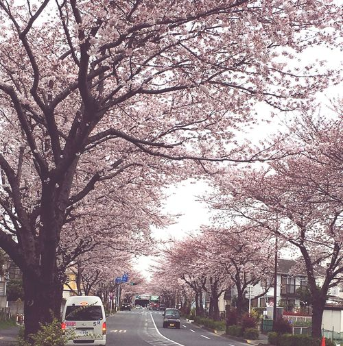 Cherry Blossoms Enjoying Life Still More Rord Row Of Cherry Blossom Trees Spring