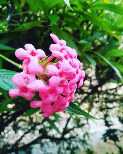 Focus Object Flower Pink Color Nature Petal Beauty In Nature Freshness Fragility Plant Flower Head Close-up Blooming Outdoors Growth Day