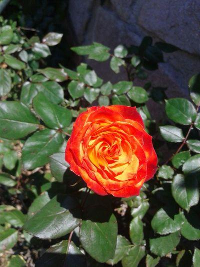 Rose🌹 Flower Orange Flower Beautiful Nature EyeEm Nature Lover Rosas <3 Eyem Gallery Sunset Light