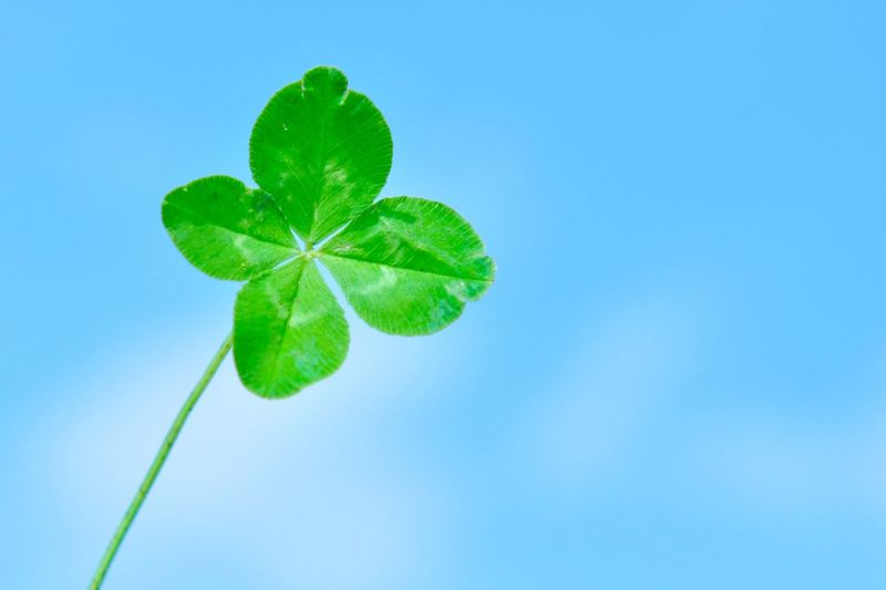 Clover Happiness Life Love Luck Lucky Beauty In Nature Blue Background Close-up Colored Background Copy Space Day Food And Drink Freshness Green Color Growth Leaf Mental Health  Nature No People Outdoors Plant Plant Part Single Object Sky