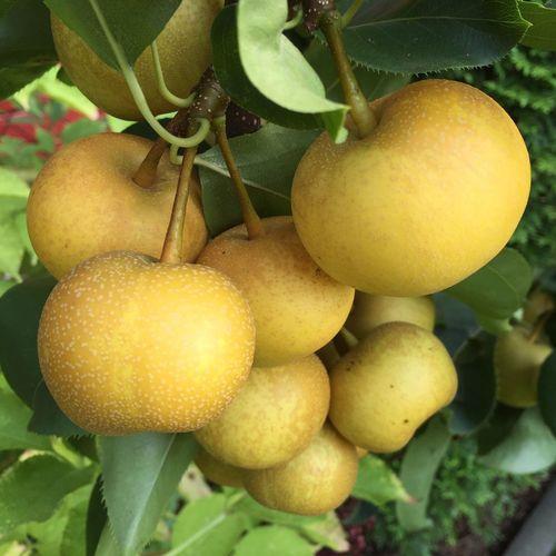 Asian Pear Nashi Pears Fruit Tree Autumn Harvest