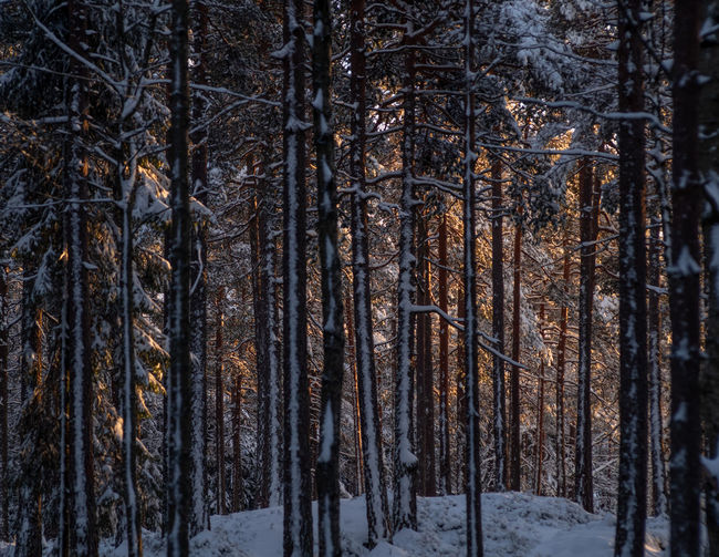 Sunlit trees in snow-clad forest. Winter scene from Oslo, Norway. Tree Forest Snow Cold Temperature Tree Trunk Winter Nature WoodLand Beauty In Nature Tranquility No People Scenics - Nature Day Environment Tranquil Scene Trunk Non-urban Scene Pine Tree Pine Woodland Winter Scandinavia Evening Sun