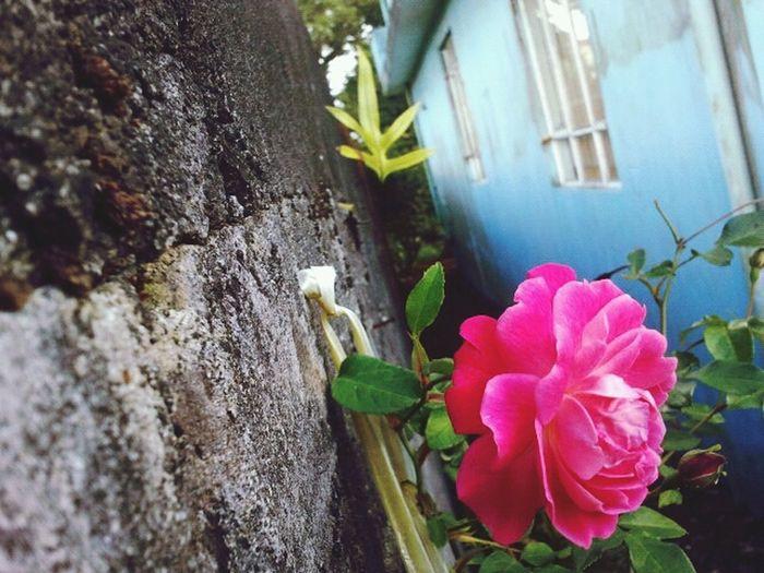 Flower Red Rose Mauritius Roses