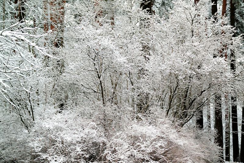 Snowy Snowy Trees Winter First Snow Wintertime Winter Nature Outside Winter Trees Winter Forest Trees Winter_collection Snow