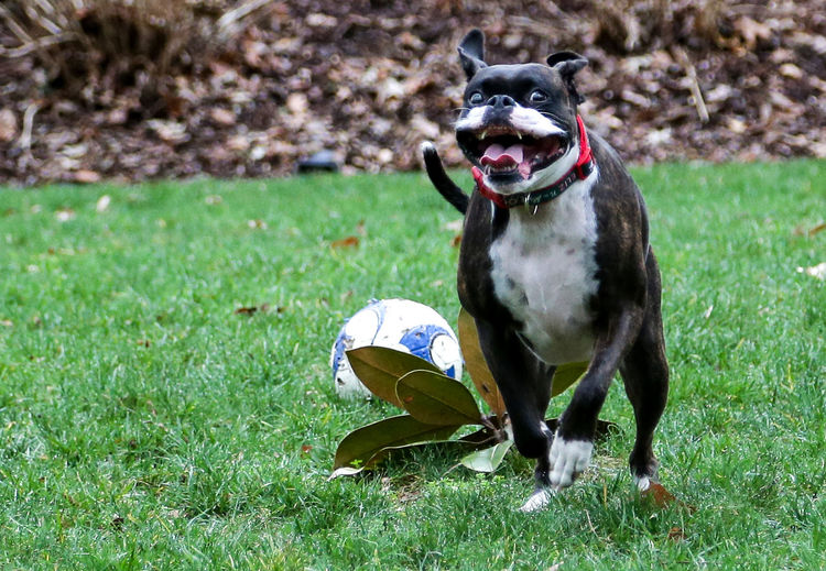Sprinter Racing Running Animal Themes Ball Day Dog Domestic Animals Field Grass Mammal No People Outdoors Pets Playing Running Soccer Ball, Boxer Sport