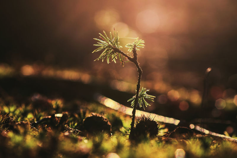 Macro Photography Beauty In Nature Close-up Fragility Freshness Growth Macro Nature Outdoors Pine Tree Plant Selective Focus
