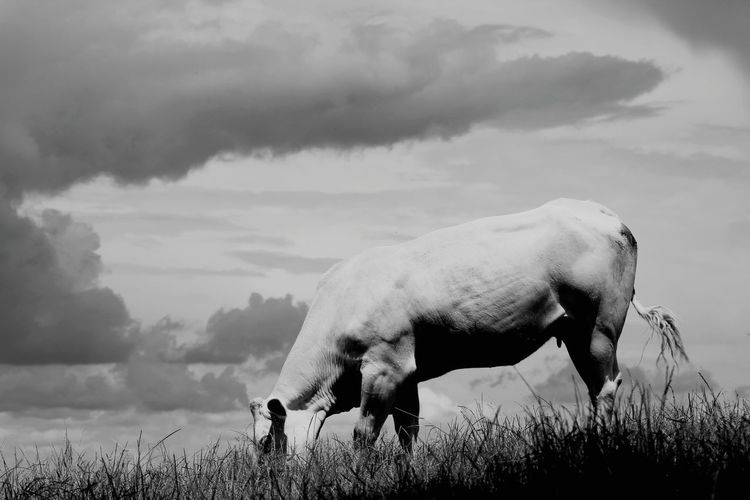 Blackandwhitephotography Blackandwhite Black&white Cow Feeding  Feeding Animals Animal Animal_collection Walking Around Taking Pictures Taking Photos No People Nature Nature_collection EyeEm Nature Lover The Great Outdoors - 2016 EyeEm Awards Grasses Fields Fields And Sky Sky Clouds Hills