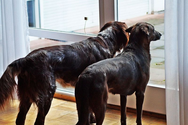 Animal Animal Themes Big Brown Dogs Day Dog Dog Love Domestic Animals From Behind Indoors  Looking Into The Garden Looking Through The Window No People Pets Standing Two Animals Zoology Peaceful Atmosphere Home Is Where The Art Is Two Is Better Than One Pet Portraits