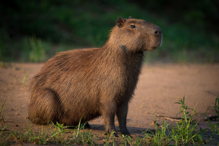 Side view of capybara on field