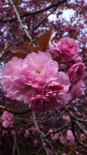 Gs5 Japanese Cherry Blossoms Lifes A Beach
