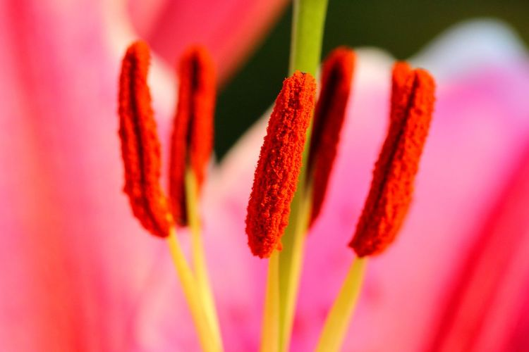 Lilies In Bloom Macro Photography Macro Flower Head Flower Herbal Medicine Red Multi Colored Pink Color Close-up Plant In Bloom Botany Plant Life Blooming