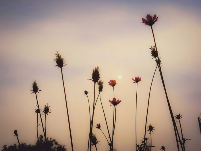 Low angle view of flowers against sky at sunset