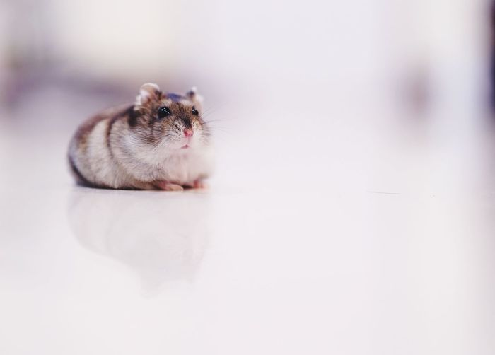Hamster looking away while sitting on table