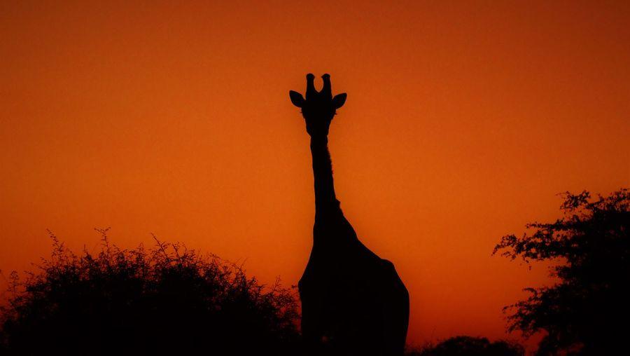 Giraffe at
