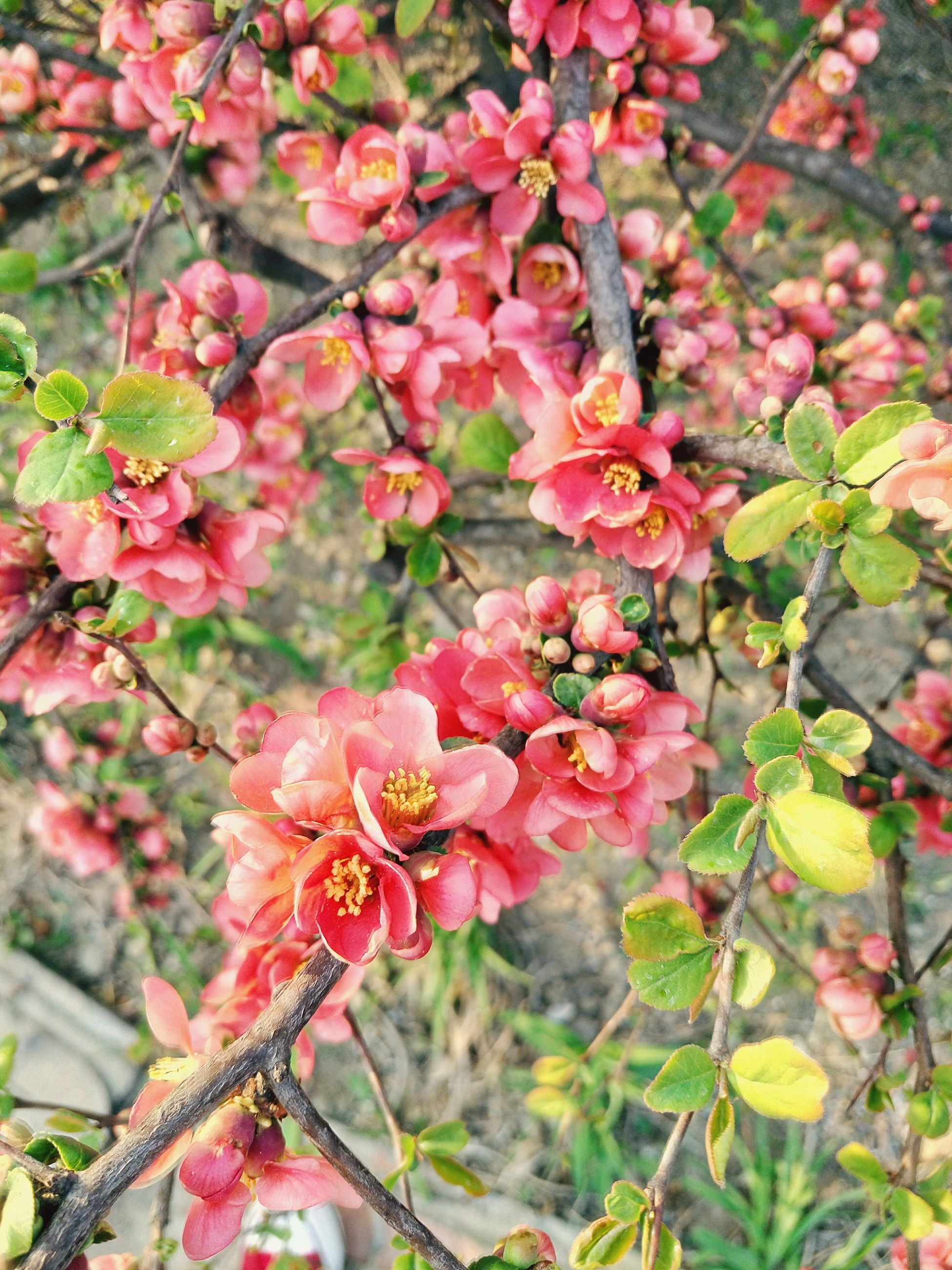 flower, freshness, growth, beauty in nature, fragility, pink color, branch, nature, petal, tree, blooming, plant, leaf, focus on foreground, blossom, close-up, in bloom, day, outdoors, springtime