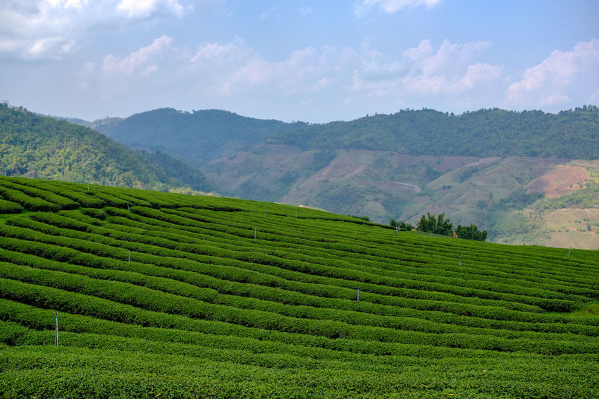 Tea plantation in Mae Salong, Thailand. Chiang Rai Mae Salong Thailand Agriculture Beauty In Nature Crop  Environment Farm Field Green Color Growth Land Landscape Mountain Nature No People Outdoors Plant Plantation Rural Scene Scenics - Nature Tea Crop Tea Plantation  Tranquil Scene Tranquility