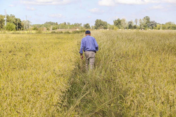 Rear view of man working in rice farm