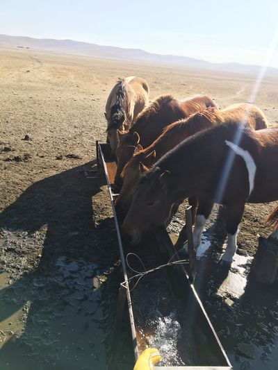 Ujimqin Farm Animal Enjoying Life Day