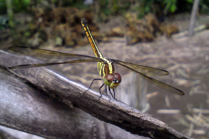Dragon Dragonfly Insect Macro  SE 902 Animal Themes Animal Wildlife Animals In The Wild Beautiful Dragonfly Close-up Damselfly Day Focus On Foreground Insect Insect Photo Insect Photography Insects Collection Nature No People One Animal Outdoors Perching Sony Ericsson C902 Sony Ericsson Cybershot