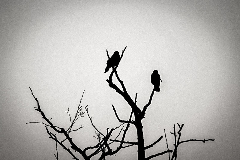 Crows Birds Black White Silence Animal Wildlife Tree Outdoors Sky Nature Day Silhouette Animals In The Wild Top Of Trees Wide Shot Bird of death