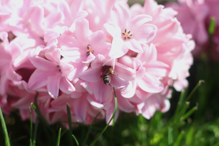 Garden Photography Pink Greece Flower Head Flower Pink Color Pollination Petal Insect Springtime Blossom Close-up Animal Themes Buzzing In Bloom Honey Bee Pollen Bee Flowering Plant