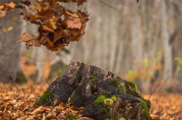 Exploring the little mountain town of Krushevo in Macedonia Autumn Beauty In Nature Branch Change Close-up Day Dry Focus On Foreground Forest Fragility Leaf Nature No People Outdoors Plant Tree Tree Trunk