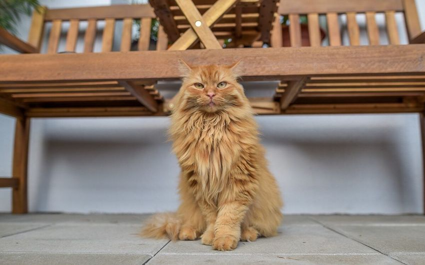 One Animal Pets Animal Themes Looking At Camera Domestic Cat Cats